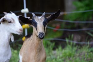 Goats at Wandering Goats